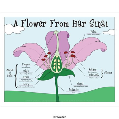 flower from har sinai anatomy pieces parts